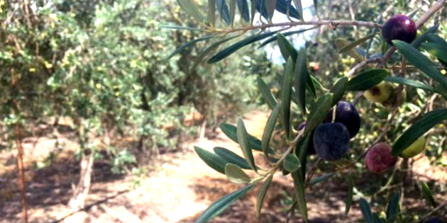 Georgia Olive Farms harvest, olive oil industry expands